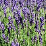 LAVANDE OFFICINALE - LAVANDULA OFFICINALIS - QUESTION 254